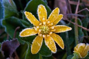 Frost auf gelber Blume