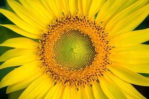 Sonnenblumen schließen foto
