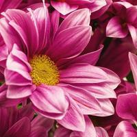 Chrysanthemenblumen, abstrakte Blumenhintergründe für Ihr Desi foto