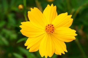 gelbe Kosmosblume foto