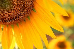 Nahaufnahme der Sonnenblume foto