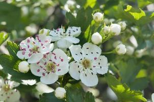 Weißdornblumen schließen foto