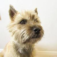 Cairn Terrier hautnah