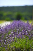 Lavendelblüten hautnah