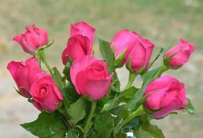 rosa Rosen schließen
