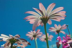 riesige Gänseblümchen in der Sommersonne foto