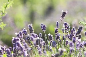Lavendel auf dem Feld