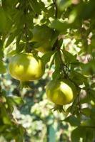 unreife Granatäpfel foto