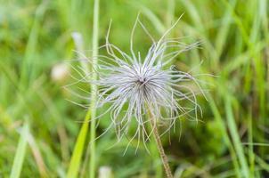 Nahaufnahme des Blütenstandes