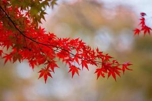 Herbstahornblätter in Japan