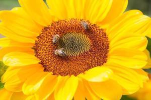 Sonnenblume foto