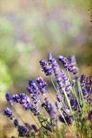 Lavendel auf dem Feld foto