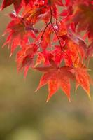 Herbstahornblätter in Japan foto