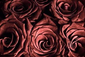 rote Rosen - Nahaufnahme foto