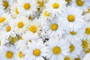Chrysanthemenblumen Nahaufnahme foto
