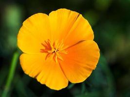 Eschscholzia Blume Nahaufnahme foto
