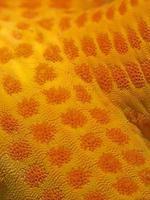 Sternfisch aus der Nähe