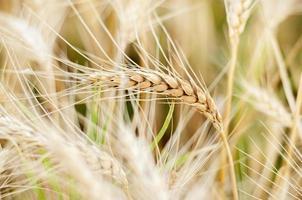 Weizen Nahaufnahme Hintergrund foto