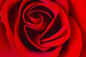 rote Rose Nahaufnahme foto