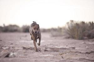 Laufender Hund foto