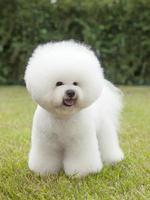 Porträt von reinrassigem Hund Bichon Frisé auf grünem Hintergrund