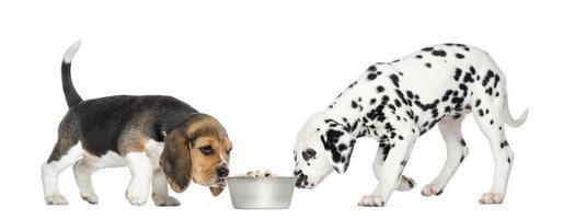 Beagle- und Dalmatiner-Welpen schnüffeln an einer Schüssel voller Kroketten.