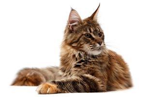 Amerikanische Waldkatze foto