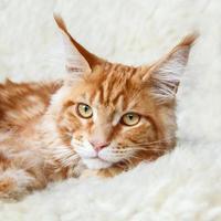 inländische foxy maine coon cat, die auf weißem Hintergrundfell aufwirft foto