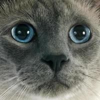 Siamesische Katze foto