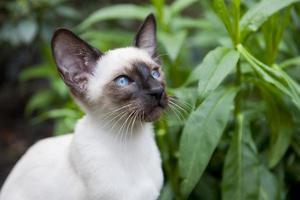 Siegelpunkt siamesische Katze foto