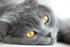 Schnauze der grauen britischen Katze Nahaufnahme, selektiver Fokus foto