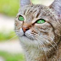 gestreifte Katze mit grünen Augen foto
