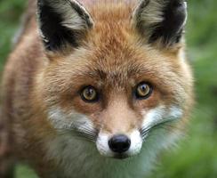 Fuchs foto