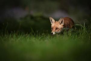roter Fuchs foto