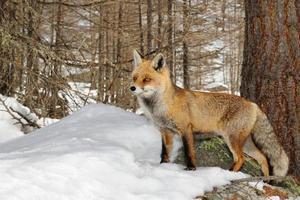Rotfuchs im schneebedeckten alpinen Lebensraum foto