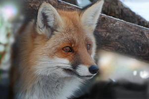 Fuchs. foto