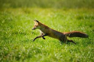 Rotfuchs springt und läuft im grünen Gras