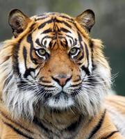 Sibirischer Tiger foto