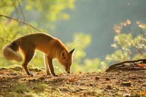 schnüffelnder roter Fuchs in der Schönheitsherbst-Hintergrundbeleuchtung