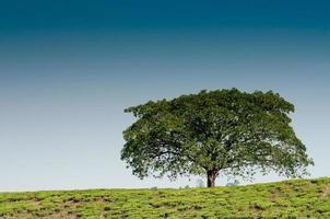einsamer Baum auf dem Hügel foto