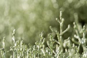 Leukophyta Brownii Hintergrund foto