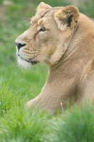 weiblicher asiatischer Löwe. foto