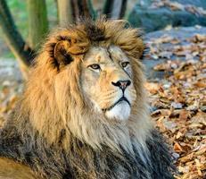 männlicher Löwe foto