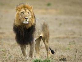 afrikanischer männlicher Löwe foto