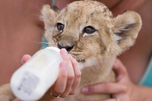 kleines Löwenbaby trinkt Milch foto