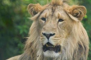 männlicher asiatischer Löwe foto