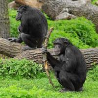 zwei Schimpansen draußen auf großen Bäumen