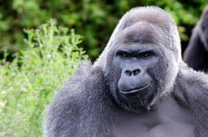 lächelnder Gorilla foto