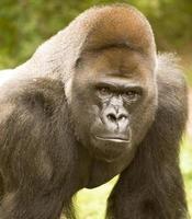 Gorilla-Porträt foto