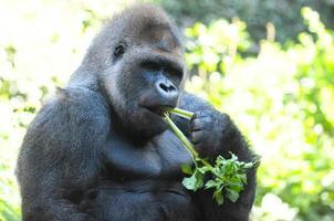 starker erwachsener schwarzer Gorilla foto
